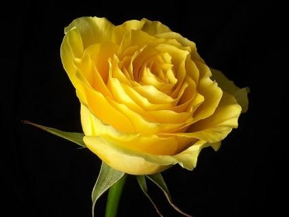اجمل كلام عن الورد evTHX.jpg