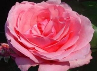 اجمل كلام عن الورد 1jardinderose2.jpg