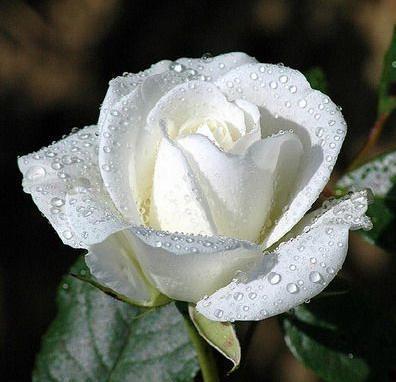 اجمل كلام عَِن ألورد white-rose1.jpg