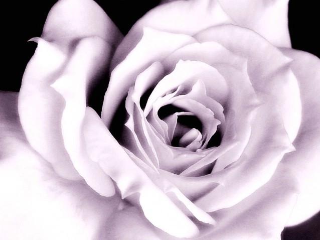 وردة جميل رقيق بمناسبة الحب 13591177864.jpg