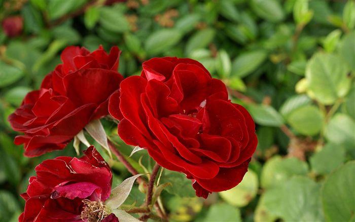 صورة كلمات عن الورد